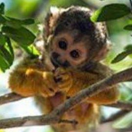 קוף- Monkey