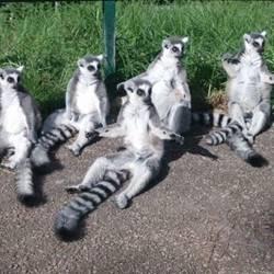 למורים - Lemurs