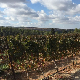 תמונה של Israeli wine makes strides