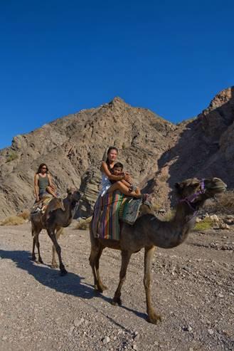 NEGEV - EILAT AREA Camels