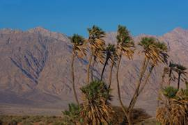 North of Eilat Dom Palms