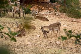 Mountain Deers on Mount Carmel