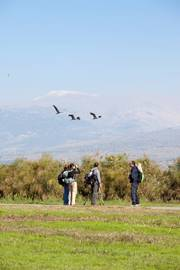 Watching Cranes Fly By Hula Valley