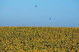 Hot Air Balloons Over Sunflower Field