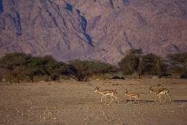Negev Gazelles