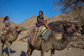 Eilat Region Camels 3