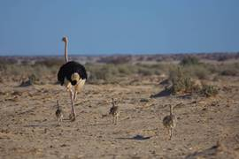Negev Ostriches