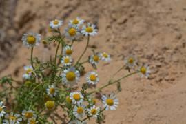 Negev Wild Flowers 1