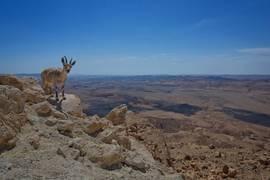 Negev Female Ibex