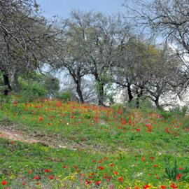 פרחים אדומים בשמורה - Red flowers at the reserve