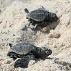 צבי ים - Sea Turtles