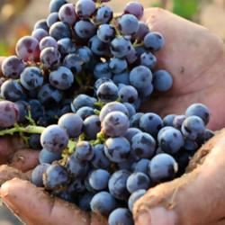 Grapes - ענבים